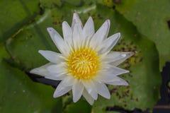 De witte lotusbloem is bloeiend met zacht zonlicht Stock Fotografie
