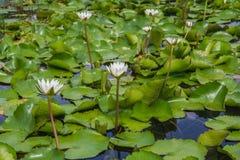 De witte lotusbloem is bloeiend met zacht zonlicht Stock Foto's