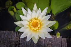De witte lotusbloem is bloeiend met zacht zonlicht Stock Afbeeldingen
