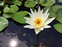 De witte lotusbloem met wijst op zonneschijn Stock Fotografie