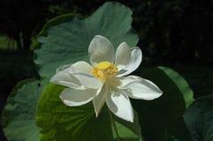 De witte lotusbloem op het de piek van ` s stock fotografie
