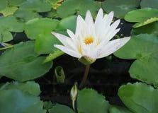 De witte lotusbloem is in de vijver stock afbeeldingen