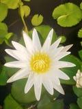 De witte lotusbloem is in de vijver stock afbeelding