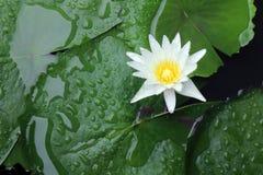 De witte lotusbloembloesem in de atmosfeer na de regen, de witte lotusbloem drijft op oppervlaktewater en blad groene verse mooi royalty-vrije stock foto's