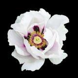 De witte macro geïsoleerde fotografie van de pioenbloem Royalty-vrije Stock Afbeeldingen