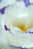 De witte macro van bloembloemblaadjes Stock Afbeelding