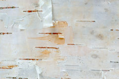 De witte Macro van de de Schorstextuur van de Berkboom Royalty-vrije Stock Foto's