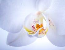 De witte macro van de orchideebloem met waterdalingen royalty-vrije stock afbeelding