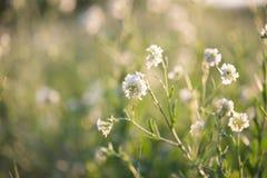 De witte macro van de zomerbloemen royalty-vrije stock foto