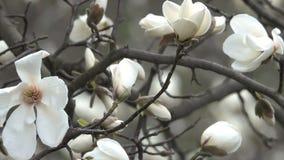 De witte magnolia's komen prachtig tot bloei stock videobeelden