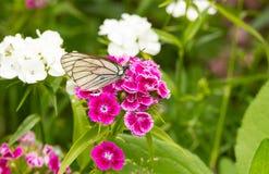 De witte mooie kleine vlinder purpere bloemen drinken nectar vage witte bloemen als achtergrond Royalty-vrije Stock Foto