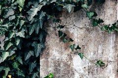 De Witte Muur met de Klimop voor Aardachtergrond stock afbeelding