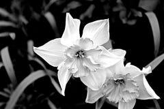 De witte narcissen stock afbeelding