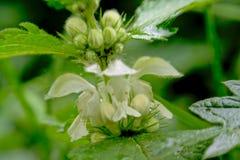 De witte netel bloeit macro - Lamium-album royalty-vrije stock foto