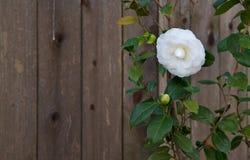 De witte omheining van de cameliaCalifornische sequoia Royalty-vrije Stock Afbeelding