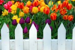 De witte omheining van tulpen Stock Afbeeldingen
