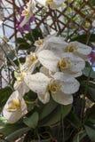 De witte Orchidee is Bloeiend in het Koude Weer royalty-vrije stock foto