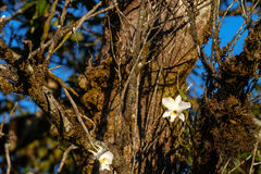 De witte orchidee van de orchideeën van Thailand groeit Royalty-vrije Stock Afbeelding
