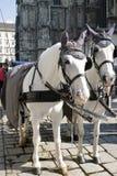 De witte paarden met fiaker in Wenen Royalty-vrije Stock Foto