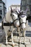 De witte paarden met fiaker in Wenen Stock Afbeeldingen