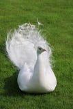 De witte pauw ligt op plotseling gesneden groen gras Royalty-vrije Stock Afbeelding