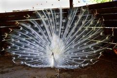 De witte pauw loste een grote en mooie staart op stock foto