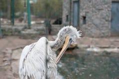 De witte pelikaan maakt veren schoon Stock Afbeeldingen