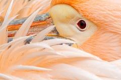 De witte Pelikaan, Pelecanus-erythrorhynchos, met veren over rekening, detailleert portret van oranje en roze vogel, Bulgarije Stock Fotografie