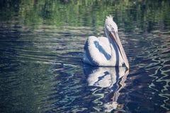 De witte pelikaanclose-up drijft op rivierwater Stock Afbeeldingen