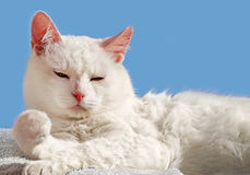 De witte Perzische kat van de schoonheid stock foto