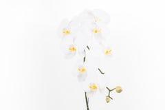 De witte Phalaenopsis-orchideeën sluiten omhoog Stock Foto