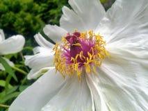 De witte pioenbloem gsrden binnen - close-up Royalty-vrije Stock Foto