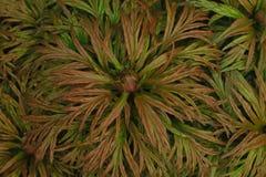 De witte pioenen van Bush op de achtergrond van gebladerte, textuur van verlof stock afbeelding