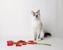 De witte pluizige blauw-eyed kattenzitting op een witte achtergrond in bevallig stelt naast een rood toenam en bloemblaadjes Royalty-vrije Stock Fotografie