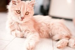 De witte pluizige kleine kat ligt op de lichte vloer stock afbeelding