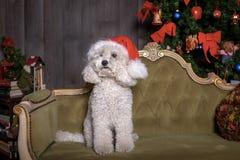 De witte poedelhond met Kerstmishoed zit op een bank stock foto