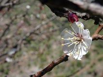 De witte precordillera DE los de Andes Chili van de abrikozenbloem royalty-vrije stock afbeelding