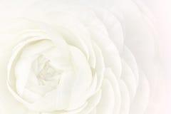 De witte Ranunculus Macro Gedeeltelijke Mening van de Bloem Royalty-vrije Stock Foto's