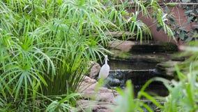 De witte reiger is in dichte nabijheid in het groene gras, en horloges stock video