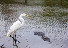 De witte Reiger van Florida dichtbij het water naast gator royalty-vrije stock afbeelding