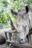 De witte rinoceros is bedreigd dier stock foto's