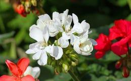 De witte rode vazen van de Geraniumbloem voor verkoop bij een bloemistwinkel Stock Afbeelding