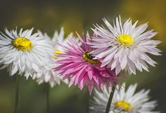 De witte & Roze Eeuwige bloem in Koningen parkeert, Perth, Westelijk Australië, Australië stock afbeeldingen