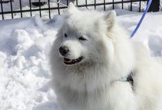 De witte schor en andere honden op witte sneeuw stelen de show Royalty-vrije Stock Afbeelding