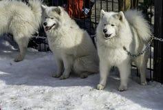 De witte schor en andere honden op witte sneeuw stelen de show Stock Afbeelding