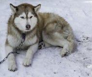 De witte schor en andere honden op witte sneeuw stelen de show Royalty-vrije Stock Foto's