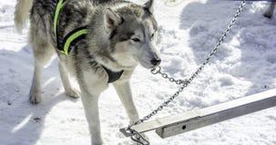 De witte schor en andere honden op witte sneeuw stelen de show Stock Foto