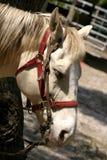 De witte Slaap van het Paard Royalty-vrije Stock Afbeeldingen