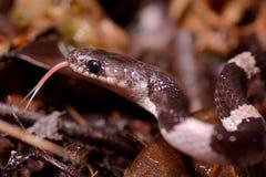 De witte slang van de pruimbloesem stock afbeelding