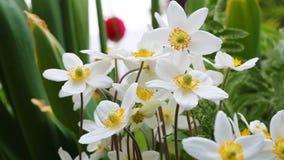 De witte slingering van anemoonbloemen in de wind stock footage